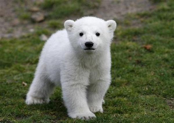Encefalite autoimune em ursospolares